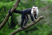 Apenheul is een gespecialiseerde dierentuin aan de rand van de Nederlandse stad Apeldoorn. De tuin ligt midden in het natuurpark Berg & Bos (200 ha). In Apenheul leven apen uit Afrika, Zuid-Amerika en Azië. De dieren leven er heel vrij: gaas of tralies ziet men er bijna niet. Sommige soorten lopen zomaar tussen de bezoekers rond. <br /> <br /> Op de foto: Witschouderkapucijnaap