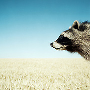 Close up of raccoon face looking over a wheat field