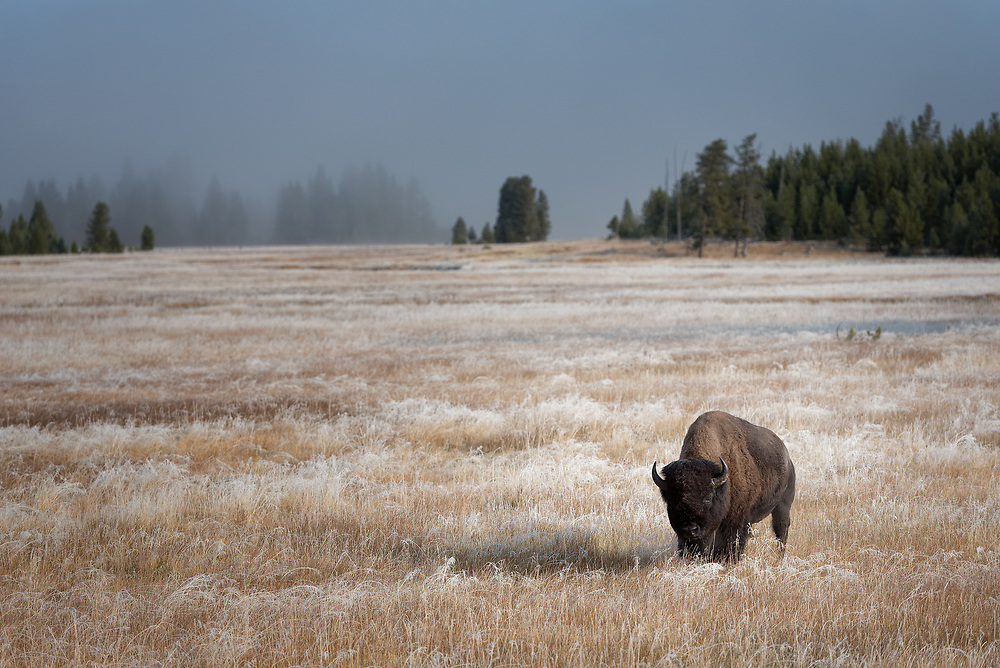 A bull bison walks in a frosted meadow in Yellowstone, Autumn 2020