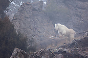 Mountain goat billy on a foggy day in Wyoming