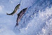 Image of salmon swimming upstream at Brooks Falls, Katmai National Park, Alaska, Pacific Northwest by Randy Wells