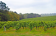 A vinyard in France