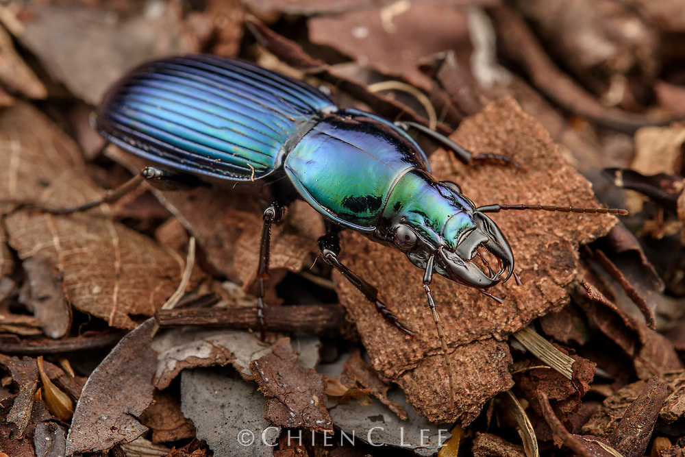 Ground beetle (Trigonotoma sp.). Danum Valley, Sabah, Malaysia (Borneo).