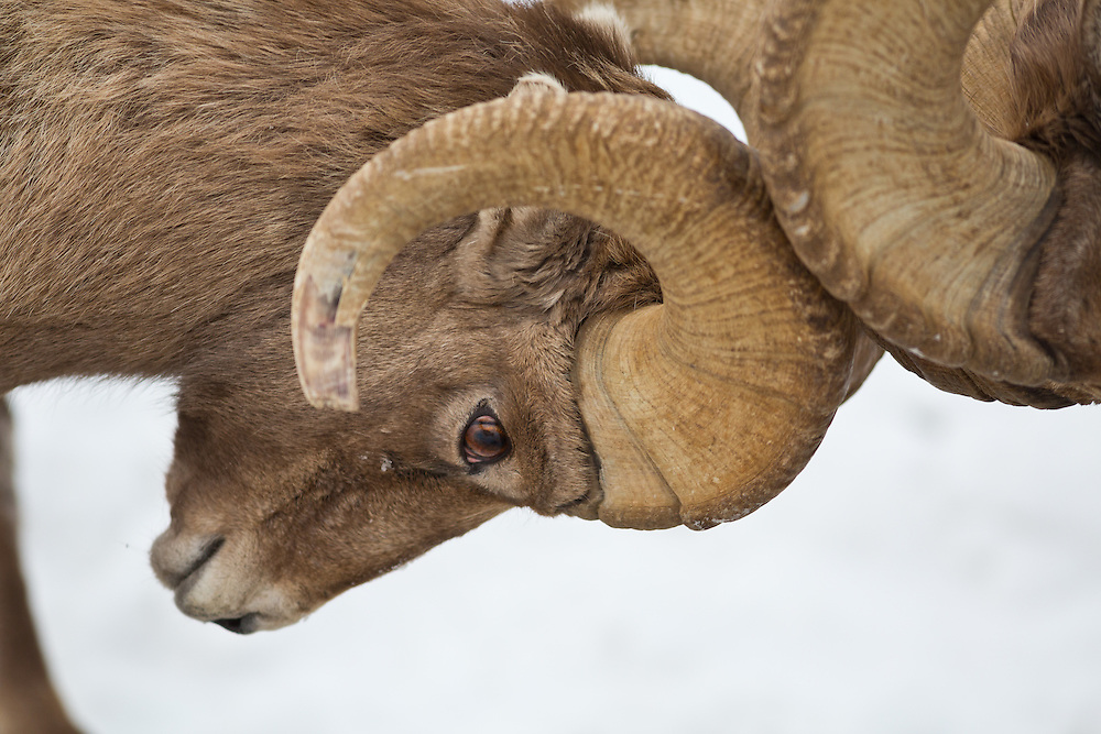 Rocky Mountain bighorn sheep (Ovis canadensis) are the largest wild sheep in North America. Muscular males can weigh over 300 pounds and stand over three feet tall at the shoulder. Females are roughly half this size. Bighorn sheep are gray/brown to dark brown in color with white patches on their rump, muzzle and back of legs. Winter coats are thick, double-layered and may be lighter in color. Bighorn sheep shed these heavy coats in the summer. They have wide-set eyes that provide a large angle of vision.  Licensing and Open Edition Prints.