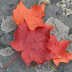 Rye, NH..Sugar Maple leaves in fall.