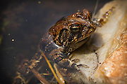Mating Southern Toads (Anaxyrus terrestris ) in Charleston, SC.