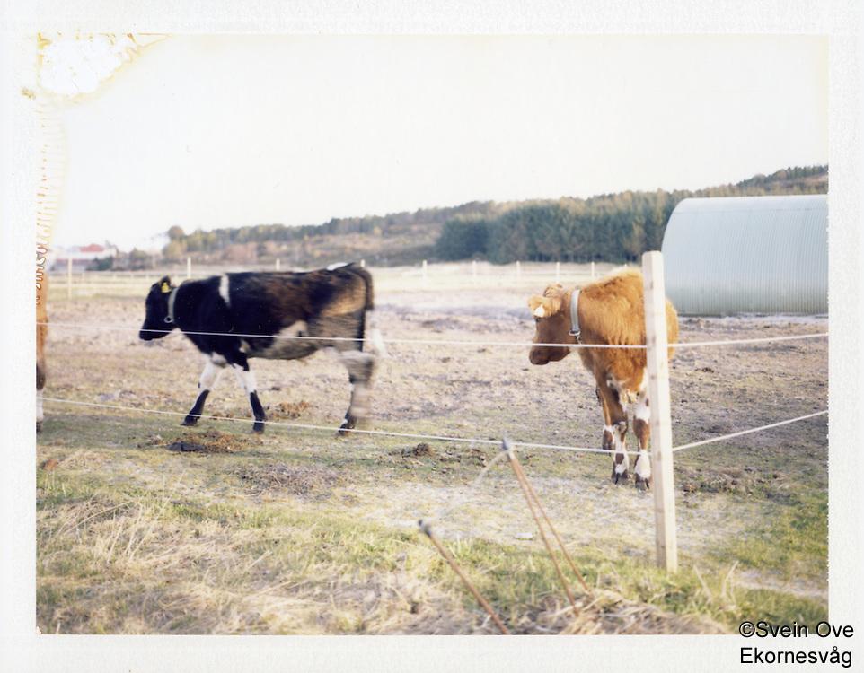Blimsanden 20120420. To kyr i en inngjerding ved Blimsanden på Vigra i Giske kommune.<br /> Foto: Svein Ove Ekornesvåg