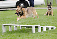 Middletown, New York - A police dog Kilo jumps over barriers during a demonstration at the festival following the 15th annual Ruthie Dino Marshall 5K Run and Fun Walk hosted by the Middletown YMCA on Sunday, June 5, 2011.