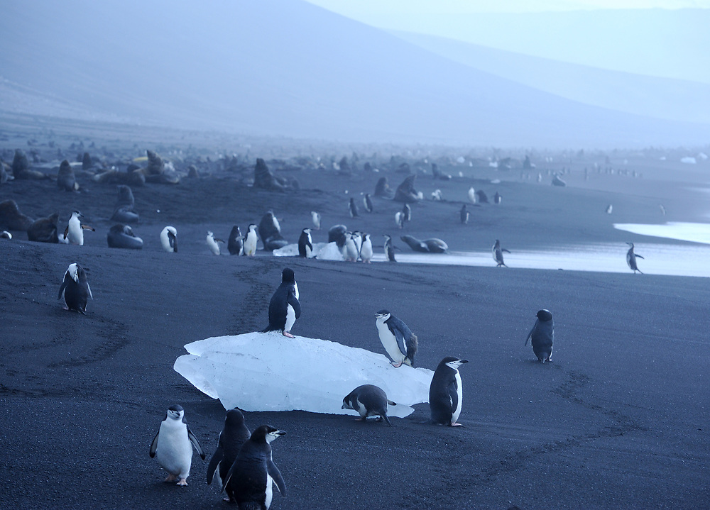 Chinstrap Penguins (Pygoscelis antarctica) on a lump of ice on the on black volcanic sand  beach below  their nesting colony. Saunders Island, South Sandwich Islands. South Atlantic Ocean. 25Feb16