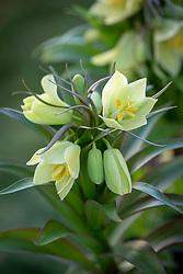 Fritillaria raddeana - Fritillary