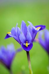 Iris reticulata 'Rhapsody'