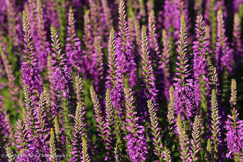 """""""Lavender Hues""""<br /> <br /> Beautiful tall Lavender purple flowers at the Matthaei Botanical Garden!!<br /> <br /> Flowers and Wildflowers by Rachel Cohen"""