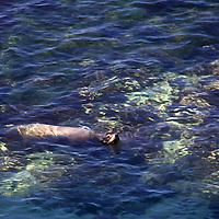 USA, California, San Diego. Sea Lion at Children's Pool, La Jolla.