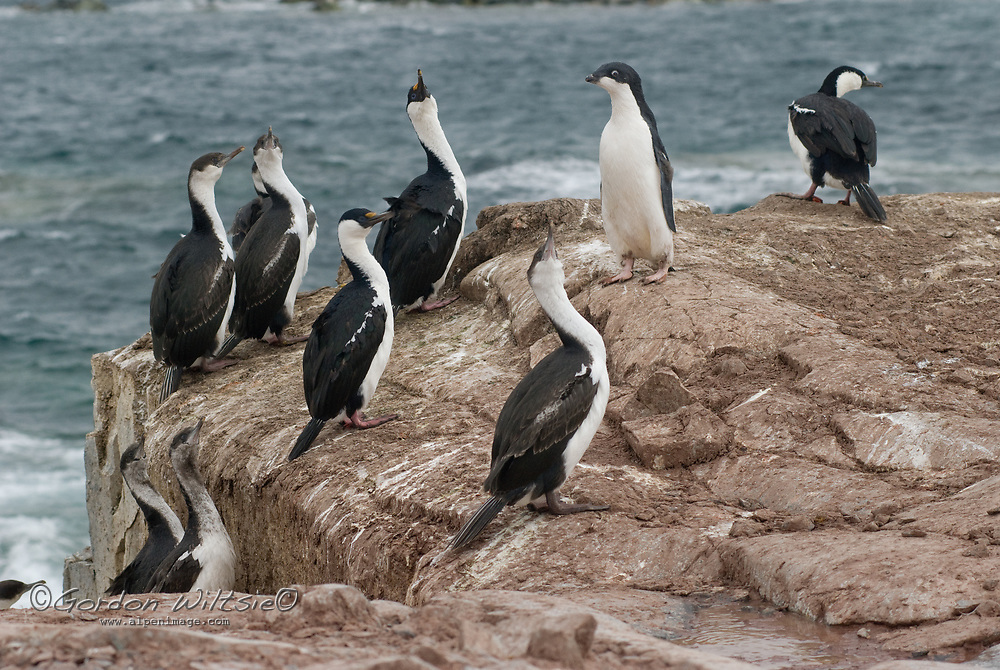 Blue-eyed shags (Antarctic Cormorants) & an Adelie Penguin stand on a rock by the shore of Petermann Island, Antarctica.