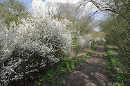 Blackthorn in bloom along a country path. Blackthorn Prunus spinosa Rosaceae Height to 6m <br /> Densely branched shrub. Bark Blackish-brown. Branches Spreading, with spiny twigs. Leaves Ovate, toothed, to 4.5cm long. Reproductive parts Flowers white, 5-petalled, to 17mm across; produced prolifically (Feb-Mar). Fruits (Sloes) to 1.5cm long, ovoid, blue-black with a bloom. Status Common.