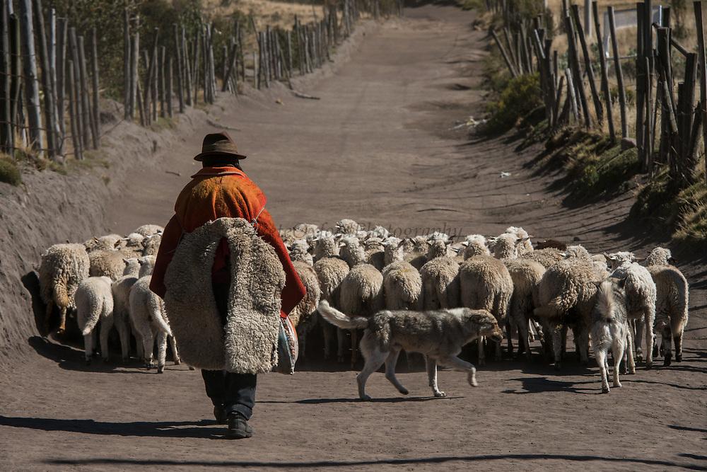 Indian & sheep<br /> Pascual Tacuri<br /> Pulingue San Pablo community<br /> Chimborazo Volcano highest in Ecuador<br /> Chimborazo Province<br /> Andes<br /> ECUADOR, South America