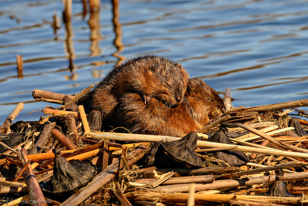 """A pair of young muskrat (Ondatra zibethicus) warm themselves by resting in the sun on top of their """"push-up"""" or lodge made from old cattail stalks and lotus seedpods.   The parents were foraging nearby.  The muskrat is a medium-sized semiaquatic rodent native to North American wetlands over a wide range of climates and habitats. The muskrat is the largest species in the subfamily Arvicolinae, which includes 142 other species of rodents including voles and lemmings; however, they are not true rats. An adult muskrat is about 16–28 in long, and weighs 1.3–4.4 pounds.  Almost half of its length is tail.  Muskrats can swim under water for 12 to 17 minutes at a time and breed two or three times a year with six to eight young per litter."""