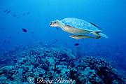 green sea turtle, Chelonia mydas, with sharksuckers ( remoras ), Echeneis naucrates, Roatan, Honduras ( Caribbean Sea )