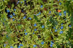 Blauw guichelheil, Anagallis arvensis subsp. foemina