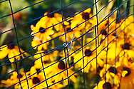 A wire fence and blurred Browneyed Susan (Rudbeckia triloba) flowers in a garden. WATERMARKS WILL NOT APPEAR ON PRINTS OR LICENSED IMAGES.