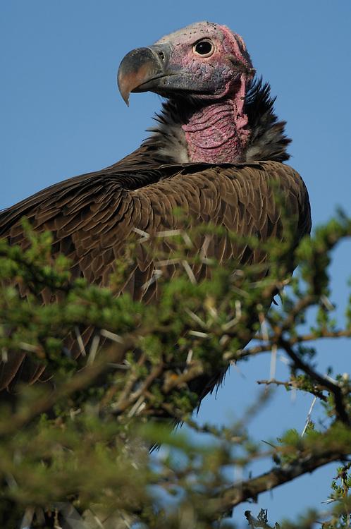 Lappet-faced vulture, Torgos tracheliotos, Serengeti NP, Tanzania