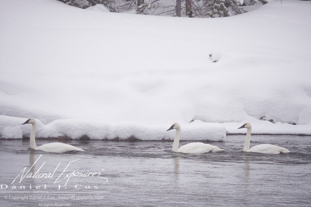Trumpeter swans on the Madison River, Yellowstone National Park, Wyoming.