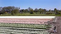 WINKEL (Hollands Kroon)   - Bloeiende tulpen naast Golfbaan Regthuys. Golf & Country Club Regthuys is een Nederlandse golfclub in Winkel. De golfbaan, die ontworpen is door Alan Rijks en Aart Bergsma, werd geopend in 2006.    COPYRIGHT KOEN SUYK