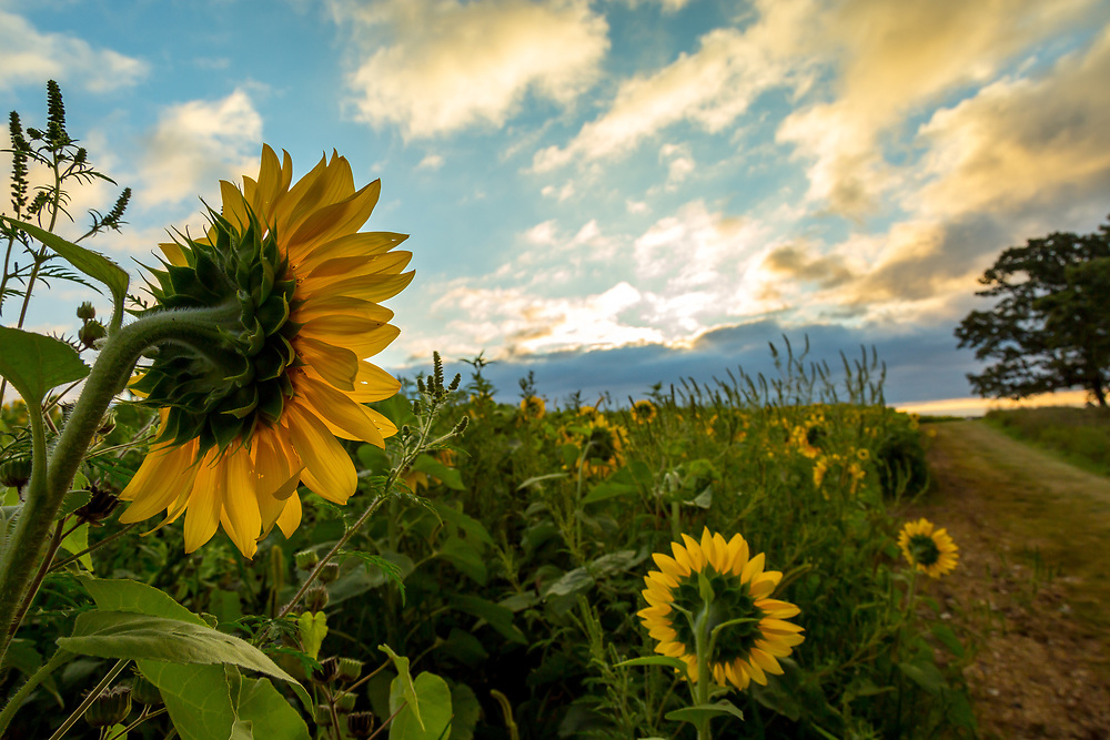 Pope Farm Conservancy sunflowers on the bright side of the road. Photo taken August 18, 2017.