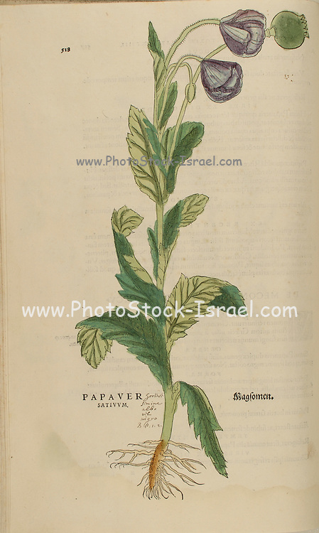 Poppy (papaver) 16th century, watercolor, hand painted woodcutting botanical print from Leonhart Fuchs book of herbs: De Historia Stirpium Commentarii Insignes Published in Basel in 1542 The original manuscript this image is taken from shows signs of water damage
