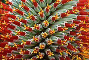 Aloe flower (Aloe speciosa). Close up abstact image of flower showing dramatic pattern and texture. Kew Gardens, Surrey.