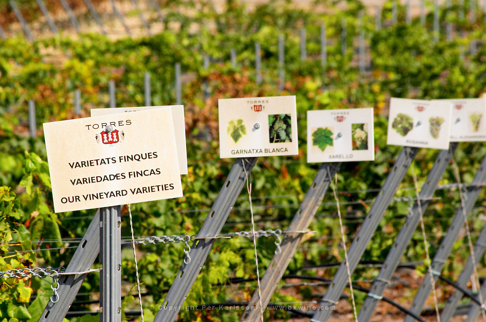 Vines with signs: Garnacha, Xarello and other. Torres Penedes Catalonia Spain