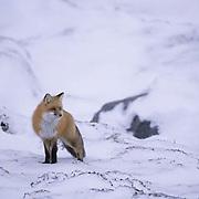 Red Fox, (Vulpus fulva) Near Churchill, Manitoba. Canada.