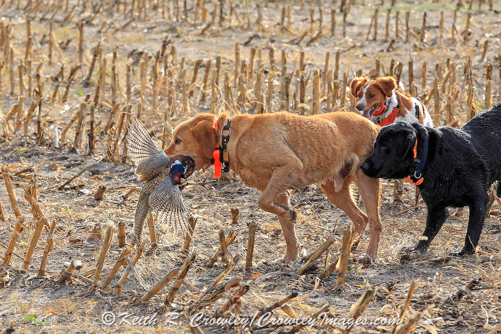A Yellow Lab gets help from other hunting dogs during a retrieve.