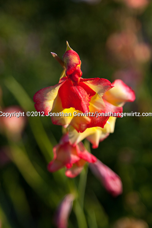 A blooming red and yellow iris flower in a flower garden. WATERMARKS WILL NOT APPEAR ON PRINTS OR LICENSED IMAGES.