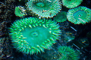 Sea Anemones in a tide pool on the Oregon Coast