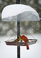 Merrick, New York, USA. January 23, 2016. Travel is for the birds only, when Blizzard Jonas brings dangerous snow and gusting winds to Long Island, and Governor Cuomo bans travel, shutting down L.I.'s roads and railroads, due to hazardous conditions. A red male cardinal and a pair of wrens eat seeds from a hanging platform bird feeder in a suburban backyard, as the winter Storm of 2016 already dropped over a foot of snow on the south shore town of Merrick, with much more snow expected throughout Saturday and early Sunday.