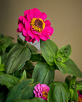 Indoor Hydroponic Flowers Zinnia). Image taken with a Leica TL2 camera and 35 mm f/2 lens (ISO 250, 35 mm, f/8, 1/50 sec)