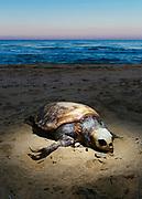 La carcassa di una tartaruga Caretta caretta ritrovata in spiaggia dopo una forte mareggiata, zona costiera Adriatica meridionale. Bari 8 Febbraio 2020. Christian Mantuano / OneShot