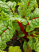 Swiss Chard growing in Mike and Kristi Lucia's vegetable garden, Glacier View, Alaska.