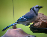 Blue Jay on a foggy morning. Image taken with a Nikon D5 camera and 600 mm f/4 VR lens  (ISO 800, 600 mm, f/5.6, 1/1250 sec)