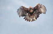 Golden Eagle, Aquila chrysaetos, Eastern Rhodope Mountains, Bulgaria