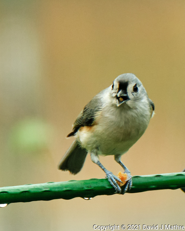 Tufted Titmouse. Image taken with a Fuji X-T4 camera and 100-400 mm OIS<br />  lens.
