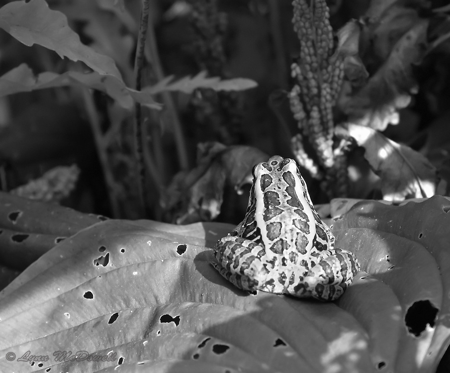 Leopard frog sunning.  As black and white, the frogs beautiful patterns mirror his environment creating camouflage.