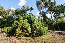 Jeneverbes, Juniperus communis