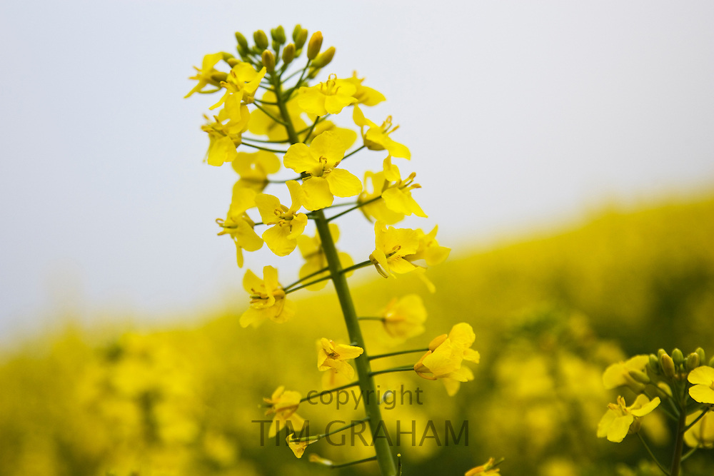 Rape seed crop field, Wyck Rissington, England, Gloucestershire, United Kingdom