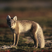 Arctic Fox during early morning; Hudson Bay, Canada