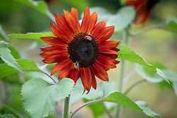 Bees on Helianthus annuus 'Claret' F1 -  Sunflower