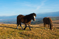 © Licensed to London News Pictures. 21/03/2021. Builth Wells, Powys, Wales, UK. Welsh mountain ponies graze under a clear blue sky on the Mynydd Epynt range near Builth Wells in Powys, Wales, UK. Photo credit: Graham M. Lawrence/LNP