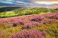 Heather blooming on the Eskdale valley moor. Castleton , Eskdale, North Yorks National Park, North Yorkshire, England .<br /> <br /> Visit our ENGLAND PHOTO COLLECTIONS for more photos to download or buy as wall art prints https://funkystock.photoshelter.com/gallery-collection/Pictures-Images-of-England-Photos-of-English-Historic-Landmark-Sites/C0000SnAAiGINuEQ