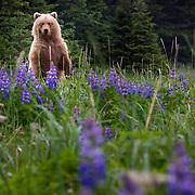 Grizzly Bear (Ursus arctos horribilis) with lupines, Lake Clark National Park, Alaska